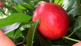 Prueban el desarrollo de híbridos de duraznos y nectarinas en Jujuy