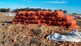 50% más hectáreas de cebolla en Río Negro