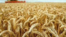 El sudoeste bonaerense, con rindes récord en el trigo