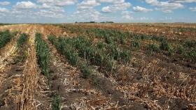 El trigo en EE.UU.: Hay sequía récord en Dakota del Norte