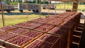 INTA Rama Caída desarrollará un proyecto para optimizar la producción primaria e industrialización de la ciruela industria de Mendoza
