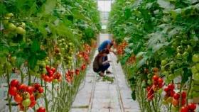 El tomate editado genéticamente llega a la agricultura urbana y granjas verticales
