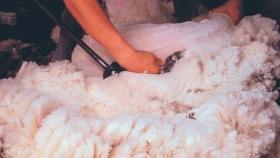 Utilizan lana de oveja como aislante térmico para viviendas