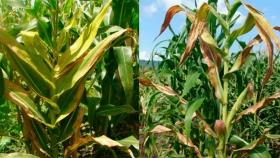 Enfermedades en maíz: atentos a Spiroplasma en la región central y a Mal de Río Cuarto en el norte