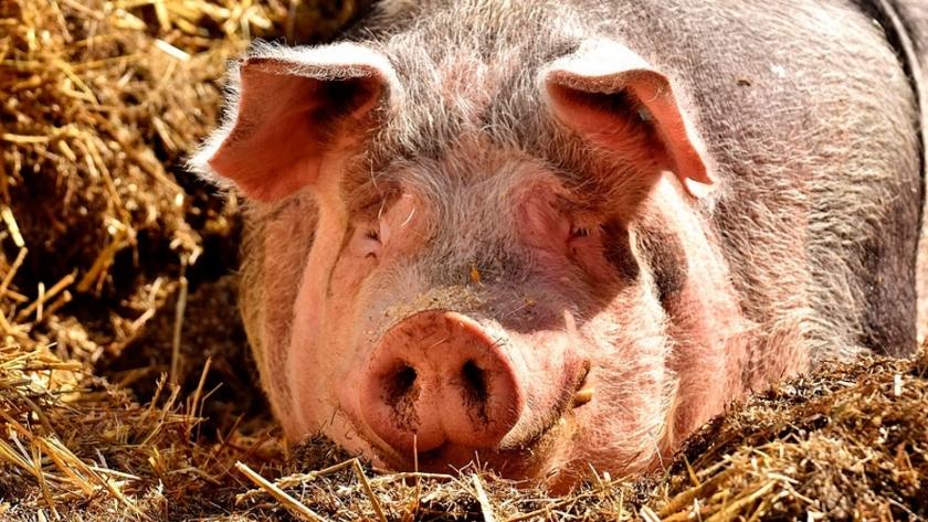 Asfalto a partir de estiércol porcino