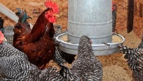 Las recomendaciones del INTA para evitar el estrés por calor en aves de piso