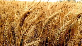 El trigo salva al planeta una dieta a la vez