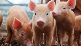 Una cooperativa santafesina generaría energía con residuos porcinos