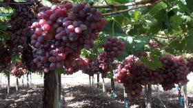 Brasil facilitaría el ingreso de la uva en fresco de Argentina