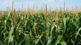 Se espera que la producción de maíz de Sudáfrica en 2021 aumente un 10%