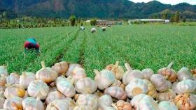 El cambio climático beneficiaría la productividad del ajo
