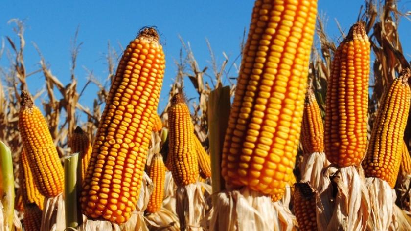 Buenas expectativas para la próxima campaña de maíz