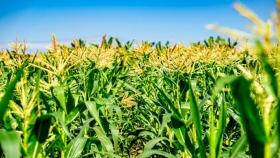 Silaje de maíz de planta entera: valor nutricional