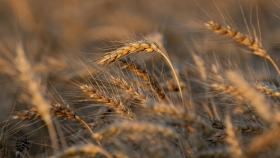 Rusia endurece la política de exportación de cereales