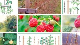 Frambuesa: Guía básica para el manejo del cultivo