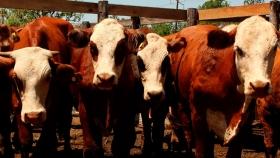 Récord de animales y buenos precios en el tercer remate ganadero de Misiones