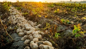 Crecen las expectativas por el cultivo de papas
