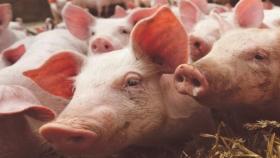 Inversiones chinas: cómo se controlarían las granjas porcinas