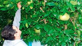 Productores advierten por faltante de plantines de pomelo