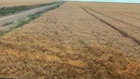 Norpatagonia: las claves que permitieron que el rinde de trigo se multiplique por diez