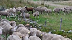 Proteger las razas de ganado autóctonas también es conservar la biodiversidad