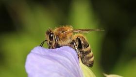 "Arranca proyecto ""Rescate de abejas Vanguardia"" en Lara"