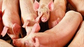 Imperdible seminario gratuito para hablar de la producción porcina
