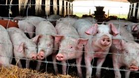 Una campaña mundial busca frenar la propagación de la Peste Porcina Africana