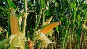 Los precios hacen saltar la rentabilidad del maíz