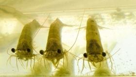 Respuestas zootécnica y fisiológica de las postlarvas del camarón marino criados en bioflocs y sometidos a condiciones de estrés