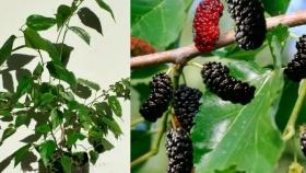 Como cultivar un árbol de moras en maceta