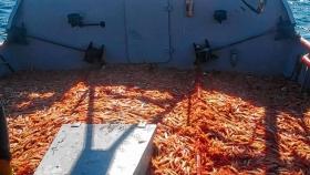 Buenas capturas de langostinos en San Antonio encienden la temporada