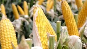 Descubren un mecanismo para lograr cultivos de menor altura y con más granos
