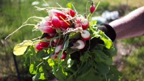 Rabanito, ¿cómo se cultiva?