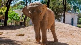 La elefanta Mara emprende su traslado desde Argentina a Brasil