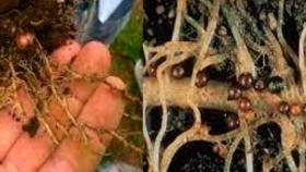 El INTA Rama Caída trabaja en el control de nematodos de papas