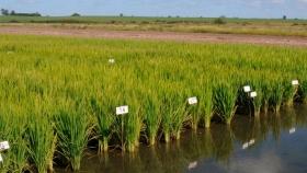Altos costos y presión impositiva provocan un freno a la producción de arroz