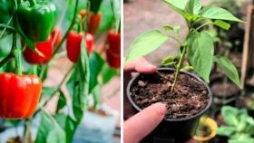 El cultivo de pimientos en interiores