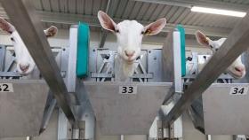 Sala de ordeño rotativa externa para cabras