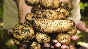 Donación histórica: se entregaron casi 10 millones de kilos de papas durante la cuarentena