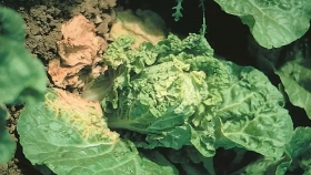 Aprenda sobre el virus del mosaico en las plantas de repollo