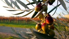 Proyecto de la Ruta del Olivo Riojano