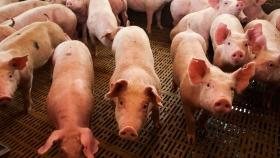 Producción porcina. Incorporaron un artículo sobre el ambiente al acuerdo con China y se firmaría en noviembre