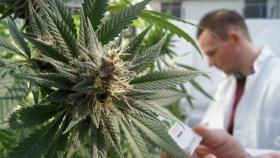 La UNLP ya puede cultivar cannabis con fines científicos