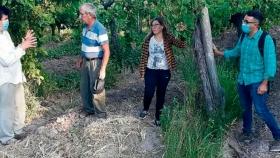 Los rindes de uva serían normales en los parrales destinados a pasa