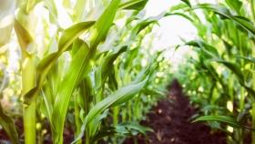 La superficie de siembra de maíz de Sudáfrica aumenta un 7% por los precios más altos y el buen tiempo