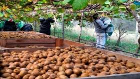 Terminó la cosecha de kiwi con un balance positivo