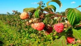 Grupo nacional produce y exporta frambuesas desde el Valle de Uco