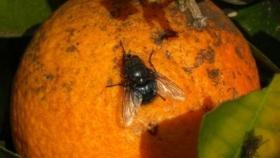 Productores jujeños refuerzan medidas para combatir la mosca de los frutos