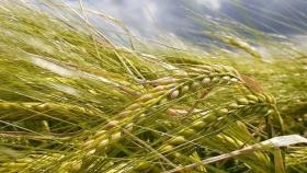 La cebada aprovecha la humedad para la siembra